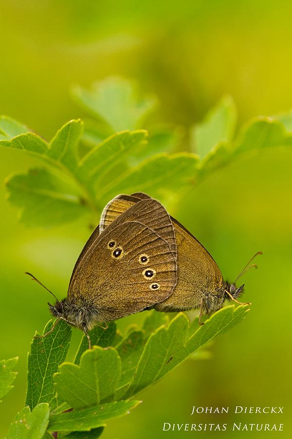 Aphantopus hyperantus - Copula