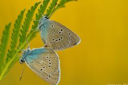 Cyaniris semiargus - copula