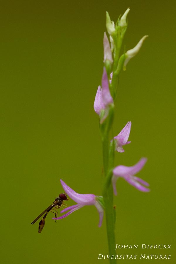 Neottianthe cucullata #2
