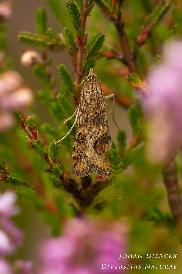 Nomophila noctuella