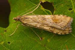 Nomophila noctuella #2