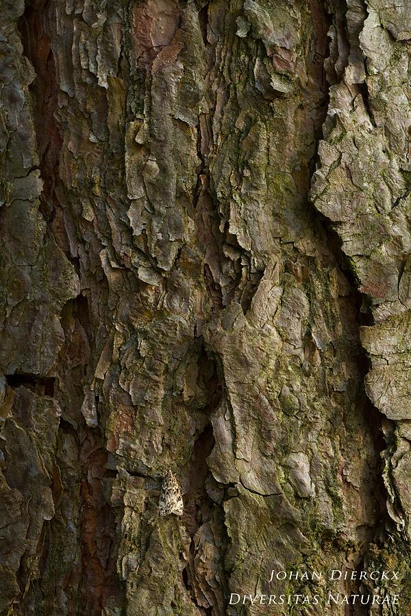 Eudonia truncicolella - camouflage