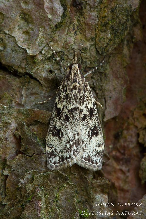 Eudonia truncicolella - close