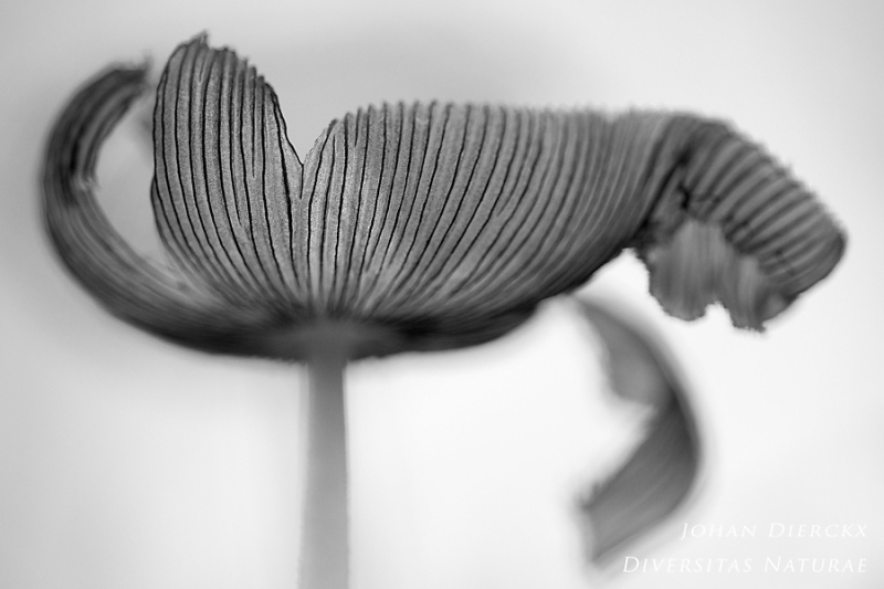 Coprinopsis lagopus