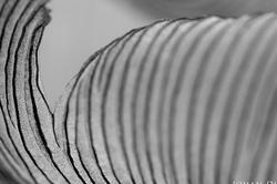 Coprinopsis lagopus - detail
