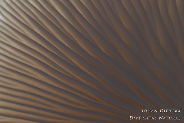 Pleurotus ostreatus - abstract #1