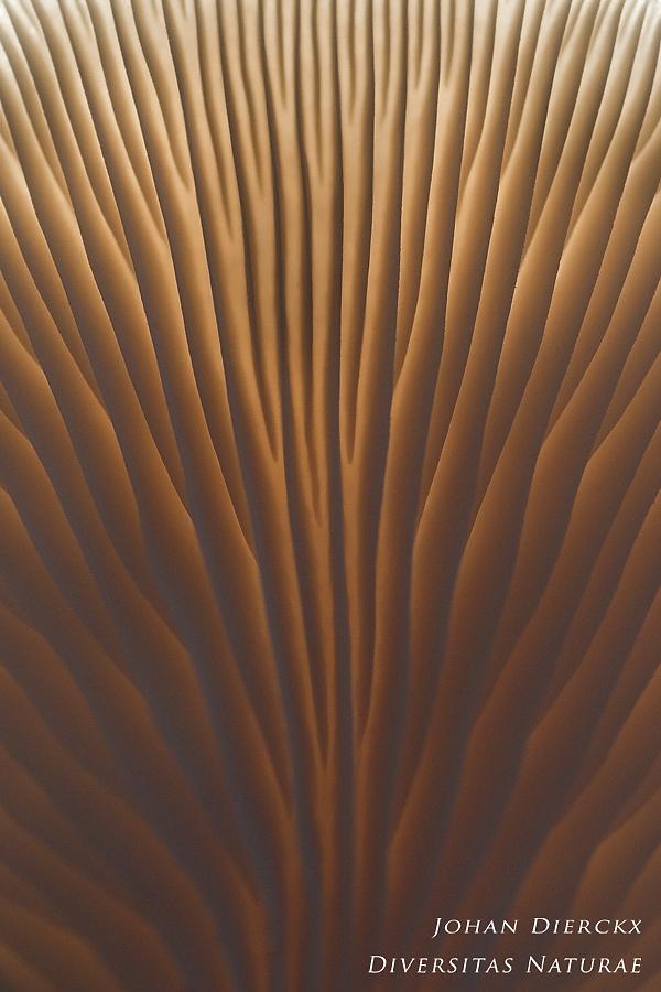 Pleurotus ostreatus - abstract #3