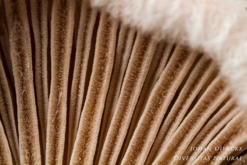 Schizophyllum commune - detail