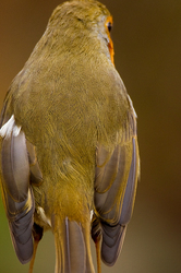 Erithacus rubecula - Too shy to turn...