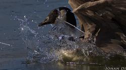 Branta canadensis - crushing thin ice