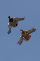 Anas platyrhynchos (M+F) - aerial ballet #2