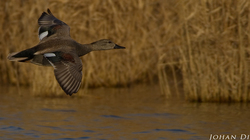 Anas strepera (M) - in flight