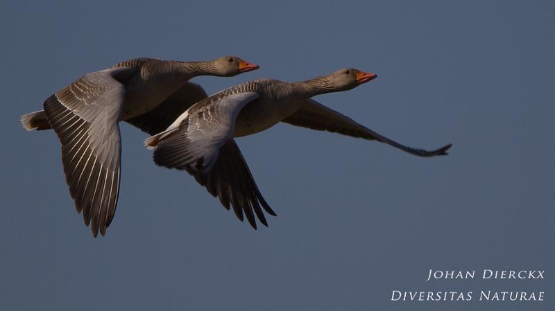 Anser anser - Duo flight