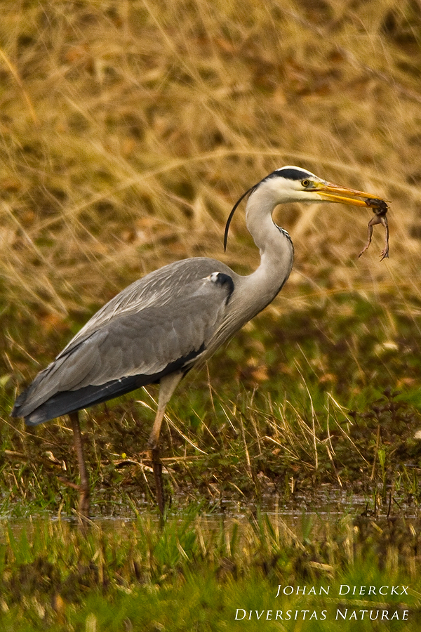 "Ardea cinerea - ""lunch"""