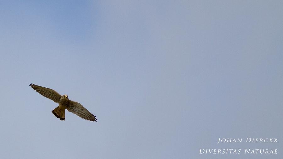 Falco tinnunculus (F)
