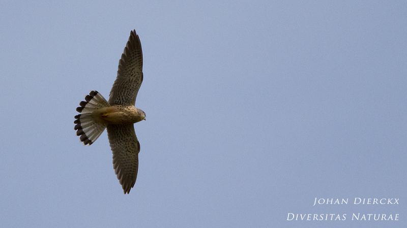 Falco tinnunculus (M)