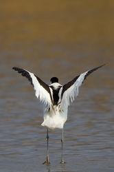 Recurvirostra avosetta #2