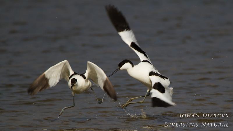 Recurvirostra avosetta #5