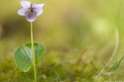 Viola palustris #2