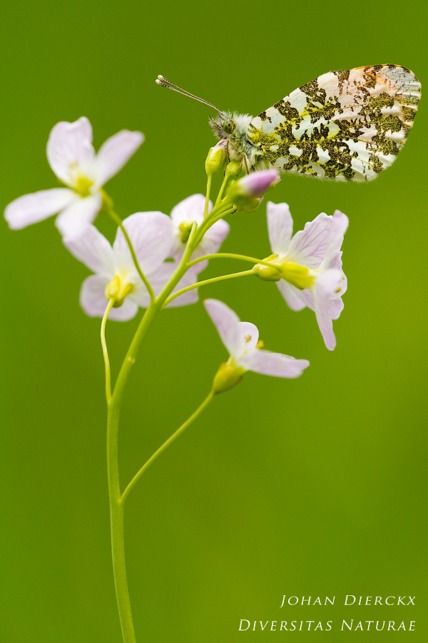 Anthocharis cardamines (M) #2