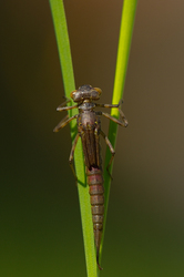 Pyrrhosoma nymphula - Larva