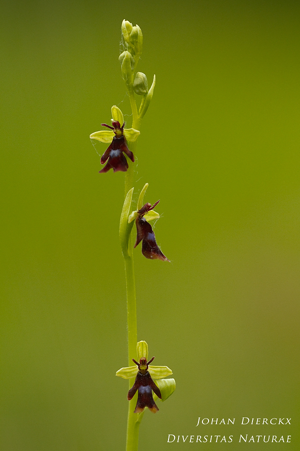 Ophrys insectifiera
