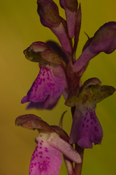 Orchis spitzelii #3