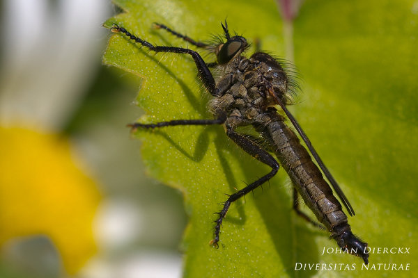 Dysmachus picipes (M)