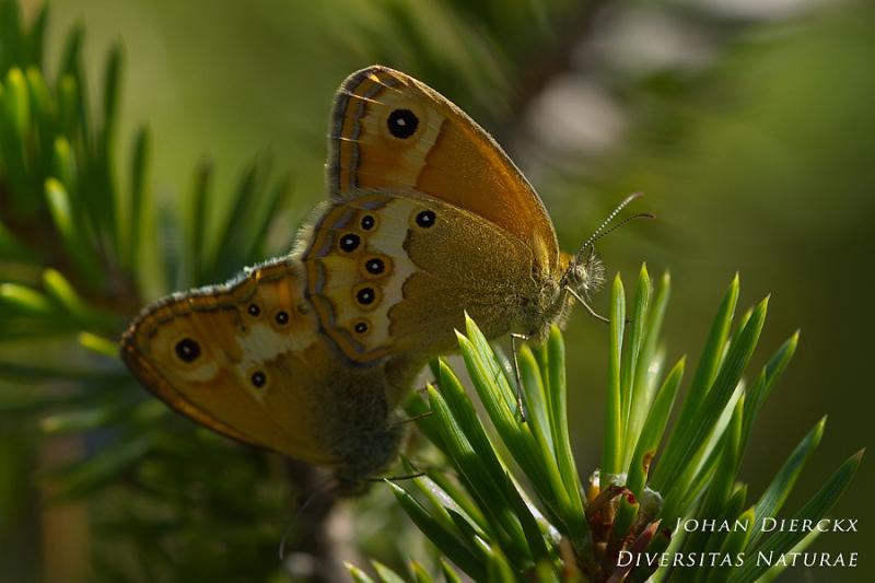 Coenonympha dorus - copula
