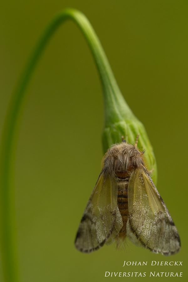 Thaumetopoea pityocampa #2