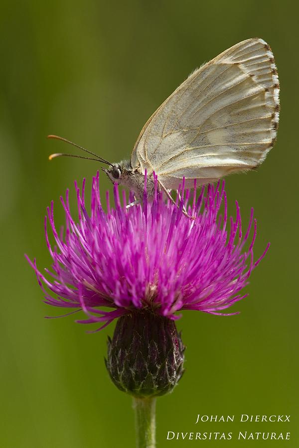 Melanargia galathea f. leucomelas