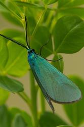 Jordanita globulariae