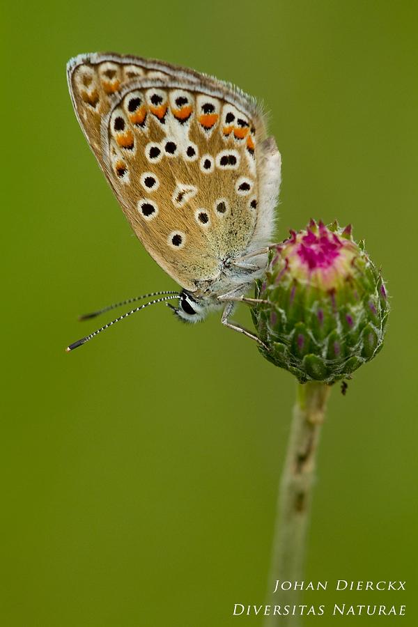 Polyommatus escheri (F)
