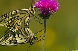 Papilio machaon (Copula)