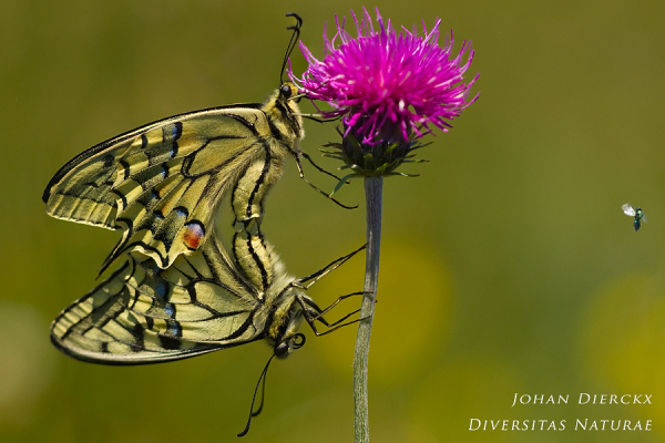 Papilio machaon (Copula)