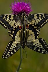 Papilio machaon (Copula) #2