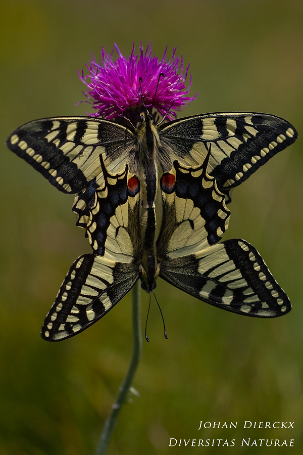 Papilio machaon (Copula) #2