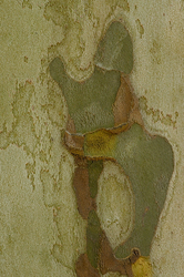 Platanus hispanica - Bark #1