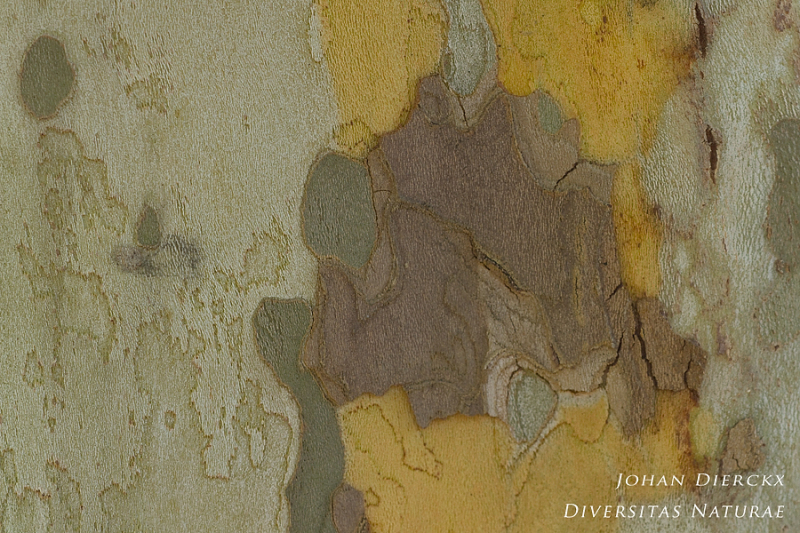 Platanus hispanica - Bark #2