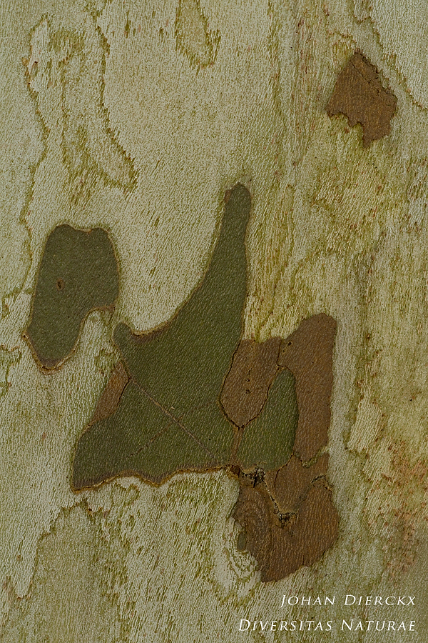 Platanus hispanica - Bark #3