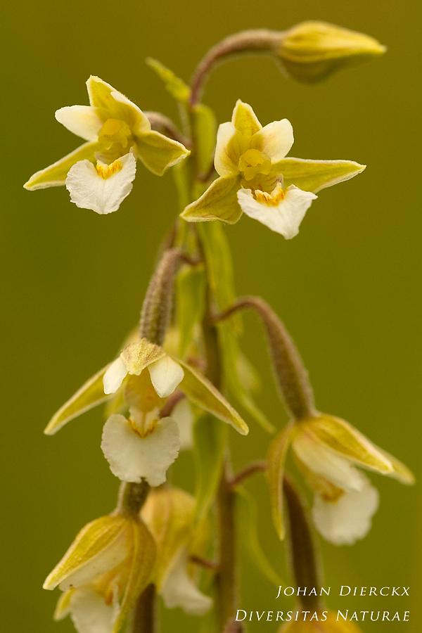Epipactis palustris (color variation)