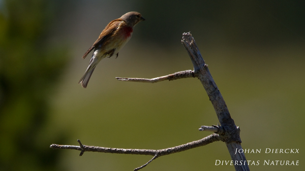 Linaria cannabina (M) - Takeoff