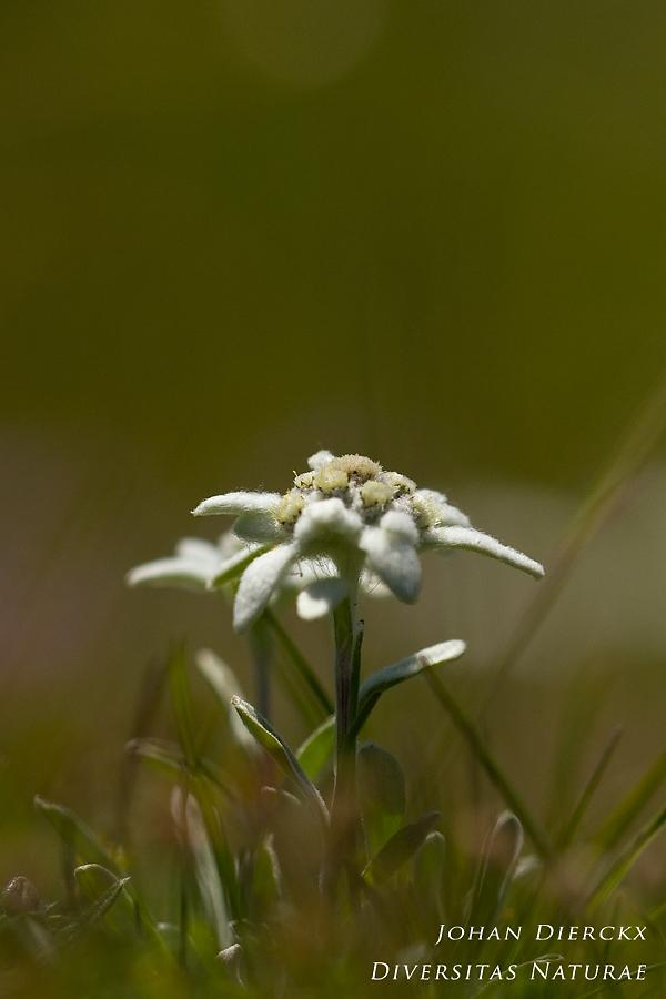 Leontopodium alpinum #2