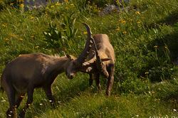 Capra ibex #3