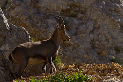 Capra ibex #4