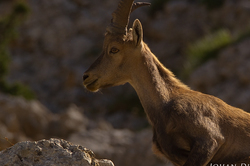Capra ibex #5