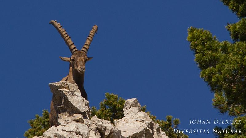Capra ibex #6