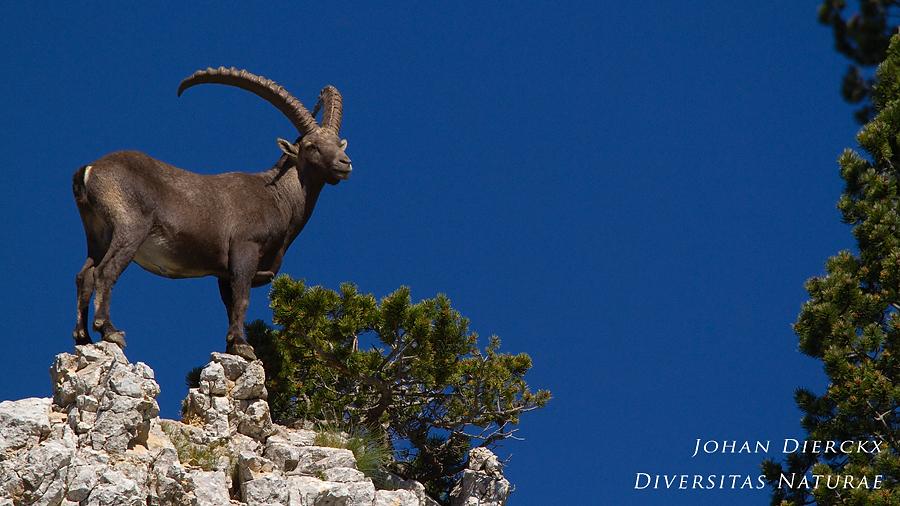 Capra ibex #7