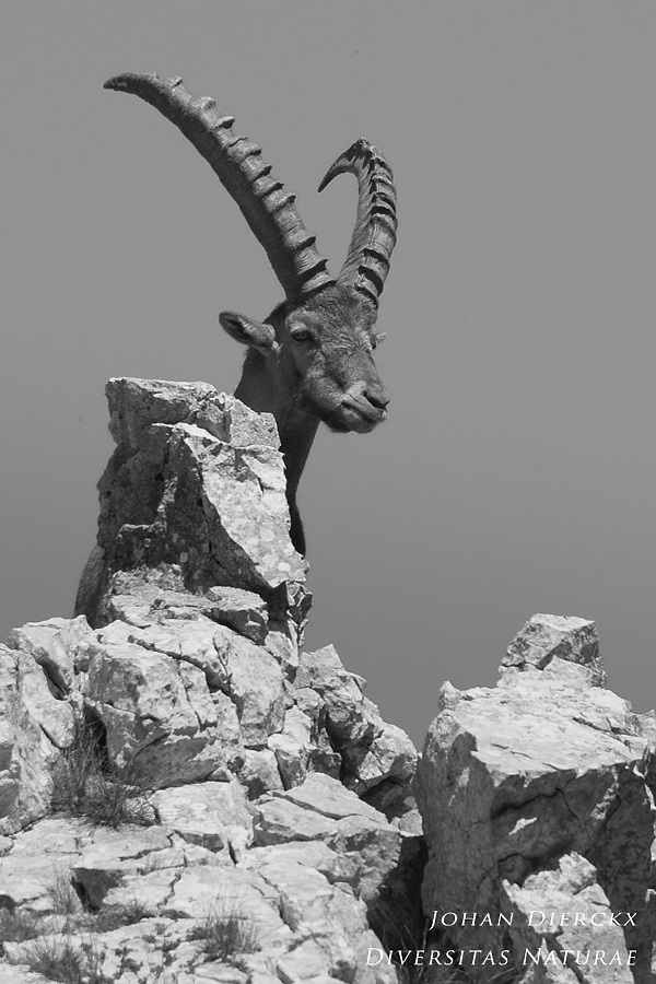 Capra ibex #8