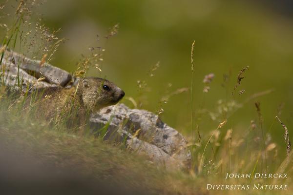 Marmota marmota #2